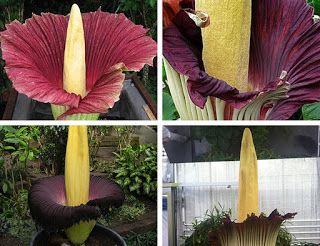 Blog do Edu Ambiental: Flor cadáver