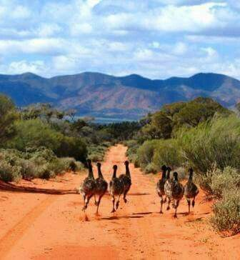 Who loves seeing emus when you're outback? Emus are always our favourites to see, and we love seeing father emus with all their striped chicks (emu dads raise the chicks after the mum has laid the eggs). Photo is in the southern Flinders Ranges, near Port Augusta