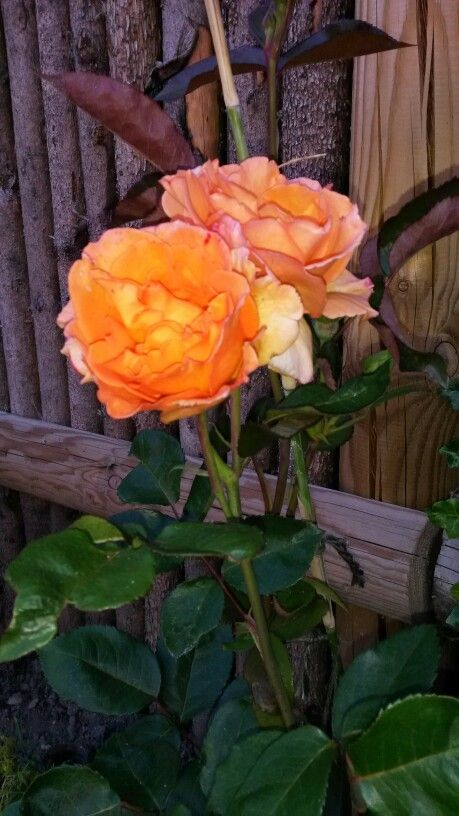 July 2015; love the orange color of this rose type 'rome'