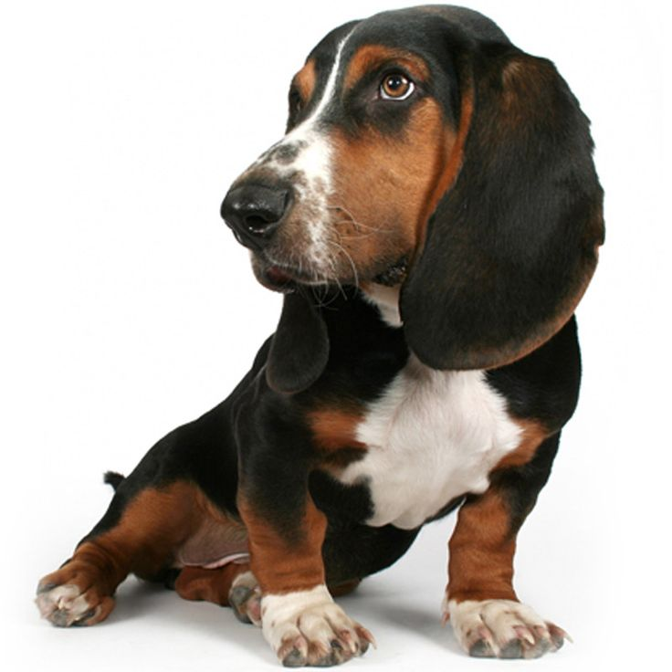 265 Best Images About Basset Hounds On Pinterest