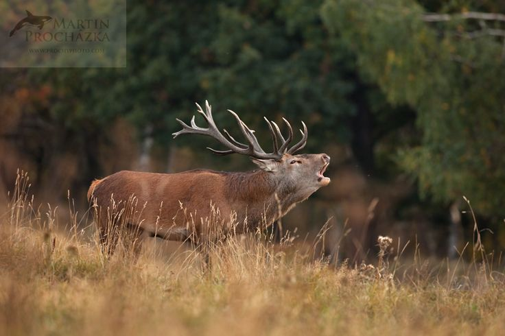 red deer, cervus elaphus, jelen