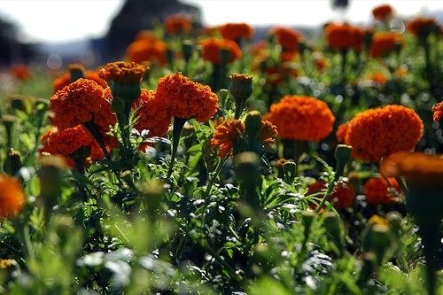 The Plants Mosquitoes Hate (and other ways to keep mosquitoes away). Plant Catnip, Rosemary, Basil and Marigolds.: Mosquito Repellent Plants, Plants Mosquitos, Bay, Plants Mosquitoes, Mosquitoes Hate, Plant Mosquitoes, Keep Mosquitoes Away, Gardens Outdoors