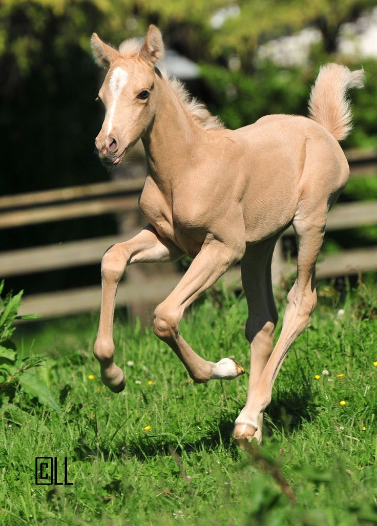 Beautiful palomino foal- let's play! Happy Father's Day to this little gal's daddy.
