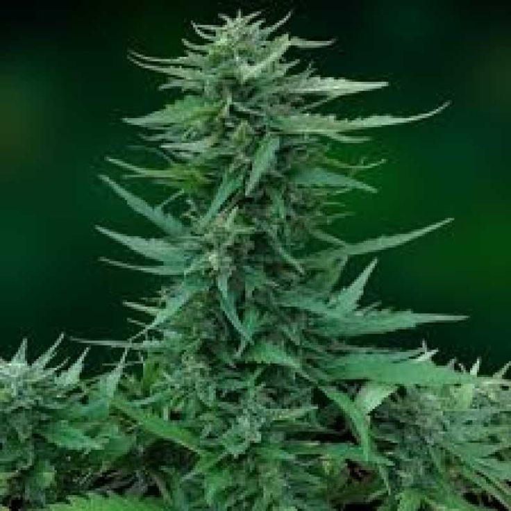 Sweet Tooth - регулярные семена конопли  производят сильные всходы, которые не боятся плесени и равнодушны к атакам вредителей. Гибрид обладает мощной структурой стеблей, которые по мере роста покрываются восхитительными голубоватыми листьями и роскошными бутонами, вырабатывающими очень много ароматной липкой смолы. Доминирование индичных генов обеспечило культуре сильнейшее седативное воздействие, которое отлично снимает эмоциональное напряжение, что позволяет максимально качеств