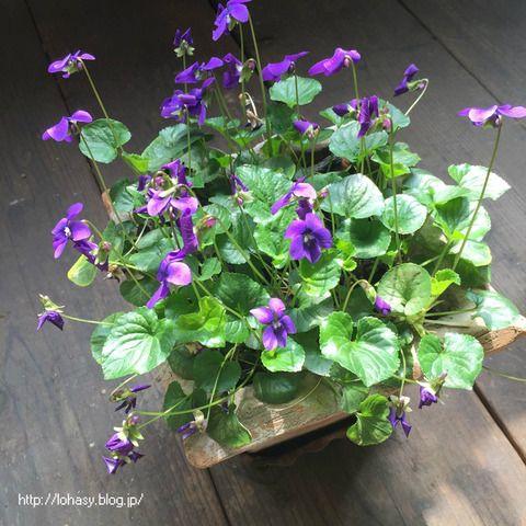 【スイートバイオレット】日陰が大好きな、ハーブの多年草スミレ☆ コンクリ壁のベランダ床でも咲くんです! アブラムシが全くつかない、エディブルフラワーです ^ ^