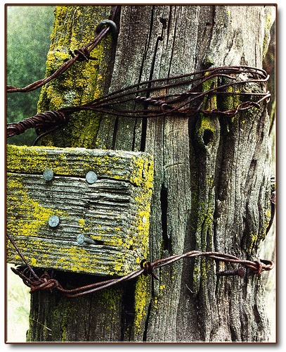 Hangin in there old barbed wire fence farm