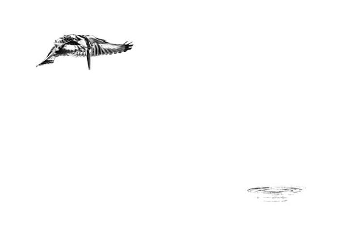 black and white image of a pied kingfisher by wildlife photographer Dave Hamman
