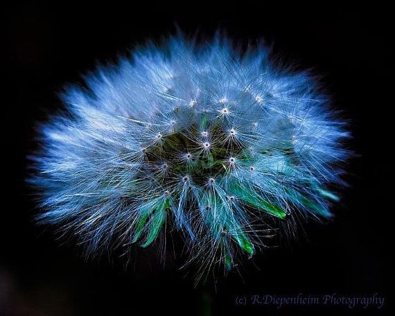 Dandelion Pod Print on Canvas by RDiepenheimFoto on Etsy, $35.00