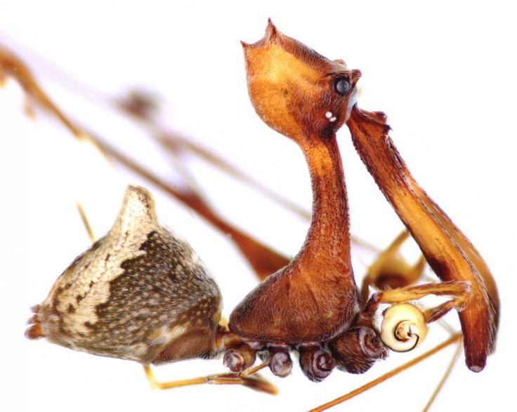 Diese neu entdeckte Spinnen Art, Eriauchenius workmani, ist der größte bisher bekannte Vertreter aus der Familie der Archaeidae. Mit einem Zentimeter ist er dabei kaum größer als ein Reiskorn. Foto: R.Whyte #Spinne #Spinnenart #Archaeidae