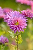 502019 - Chrysanthemum (Chrysanthemum indicum 'Rosenmarguerite')