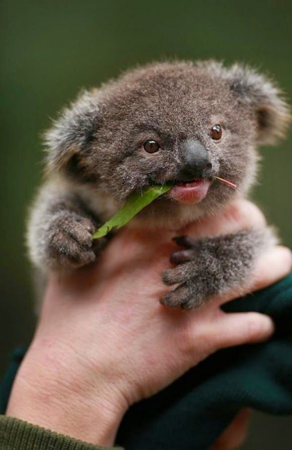 Baby Koala                                                       …