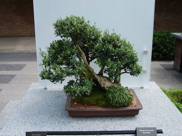 10759 besten bonsai bilder auf pinterest bonsai. Black Bedroom Furniture Sets. Home Design Ideas