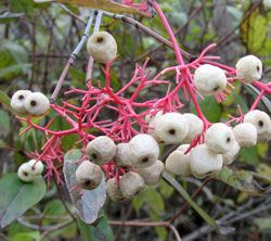 Gray dogwood  (Cornus racemosa) berries