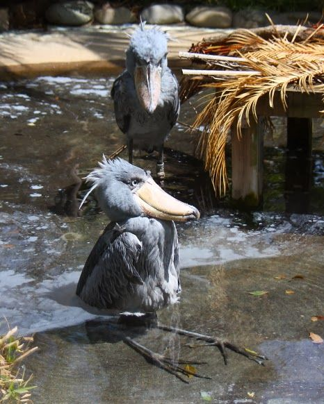 Shoebills are usually terrifying but this is just adorable.