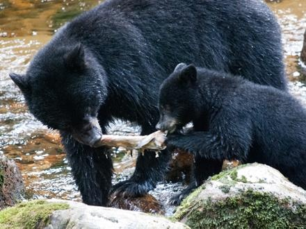 Black bear sow and cub sharing lunch