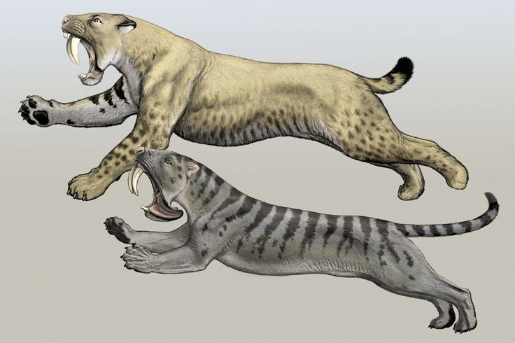 """Smilodon and Thylacosmilus, an example of convergent evolution illustrated by Carl Buell.    """"Under certain conditions, two lineages will evolve into very similar-looking forms. The top animal is a saber-toothed cat, related to lions and tigers. The bottom one is a marsupial, more closely related to kangaroos and opossums."""""""
