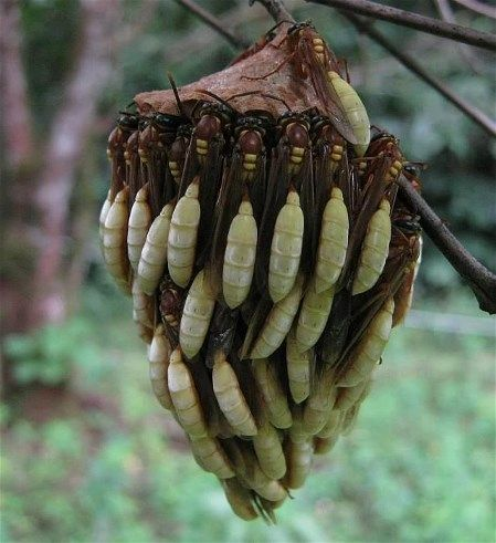Apoica Wasp nest. Eusocial paper wasps found throughout Central and South American tropics. Wasps are nocturnal. Nests have open comb, built under large leaves or in shrubs. During day, wasps covering comb fan wings to cool nest.
