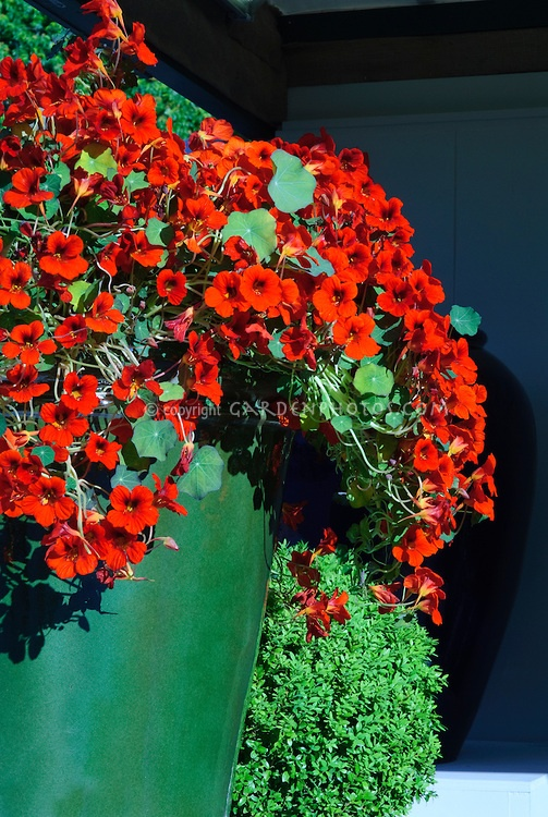 Red Nasturtiums Tropaeoleum annual edible flowers in glazed container pot planter.