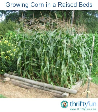 Growing Corn in a Raised Beds - 64 plants in an 8x8 bed