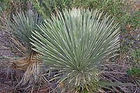 narrow-leaf yuccas yucca angustissima are low growing fairly large dagger-like leafed succulents of the arid southwestern united states | Dave Welling Nature Photography