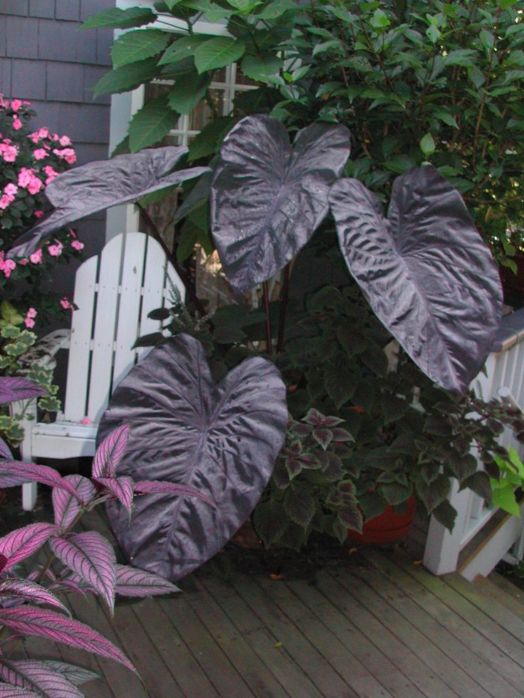Black Magic elephant ear. It was a good year for this plant, never got the leaves to grow so big, this is after a rain.