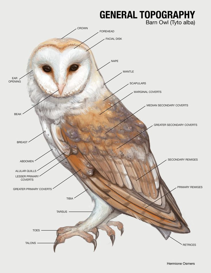 Habitat Barn owl nests are placed in but not limited to tree hollows, cliffs, holes, crevices, burrows, and human structures such as buildings. Barn owls are the most geographically widespread of...