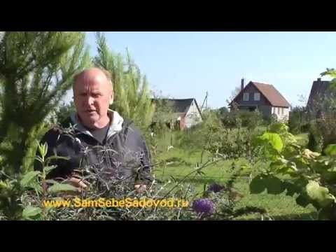 Буддлея Давида — место где встречаются бабочки « Видео-блог Садовода