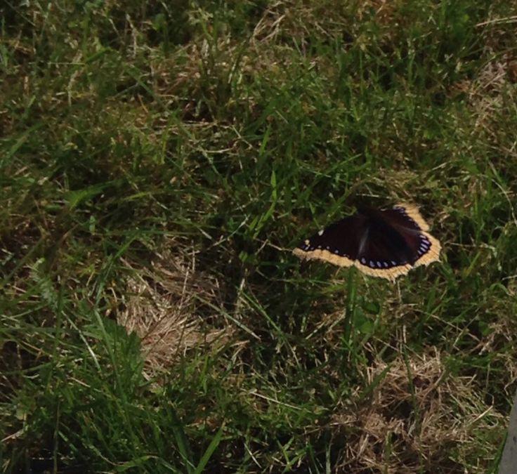 Sorgmantel Fjäril Butterfly.                    Photo :   Elisabet Wallin