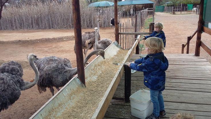 Children enjoy feeding #ostriches at #safari #ostrich #show #farm