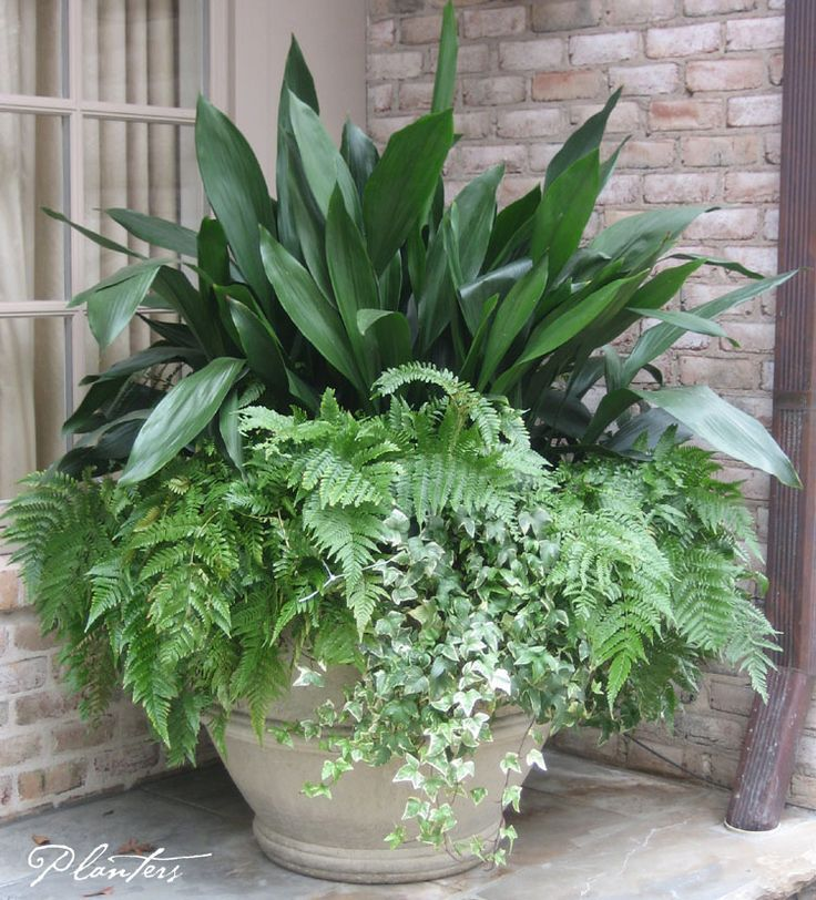 A permanent pot planting: cast iron, autumn ferns, and variegated ivy. A Planters Design. Atlanta, GA.