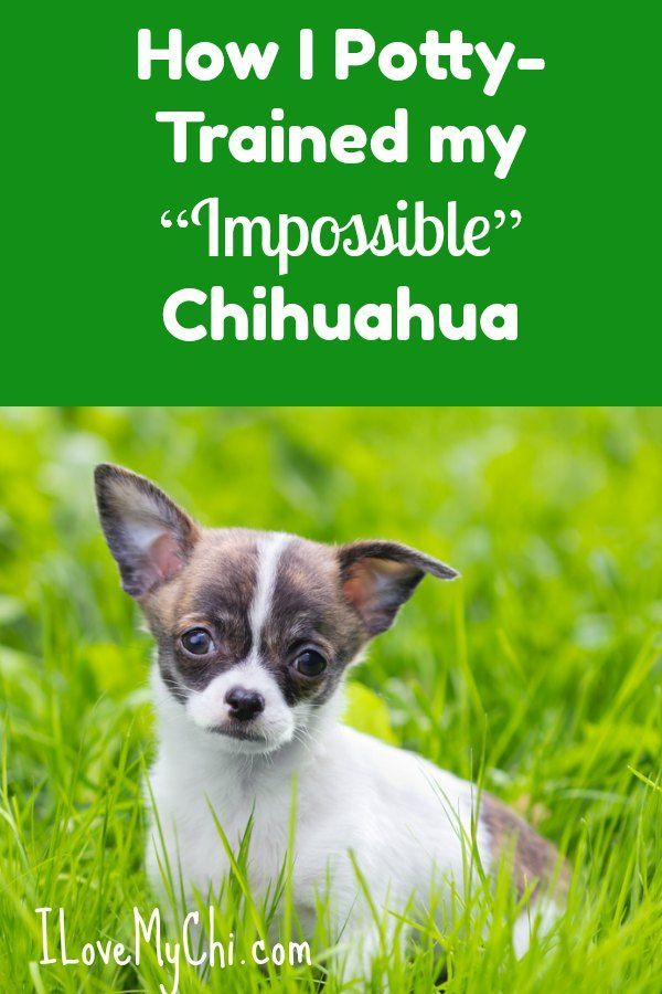 How I Potty Trained My Impossible Chihuahua Dog Training