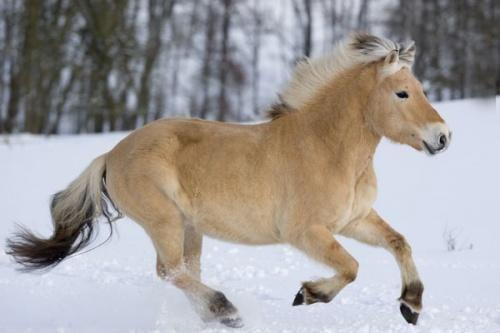 fjordský kůň na prodej - Hledat Googlem
