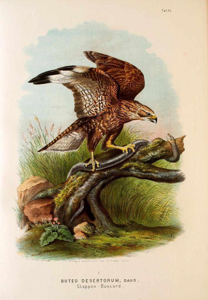 Die Raubvögel Deutschlands und des angrenzenden Mitteleuropas;. Cassel [Germany]Verlag von Theodor Fischer,1876.. biodiversitylibrary.org/page/47850739