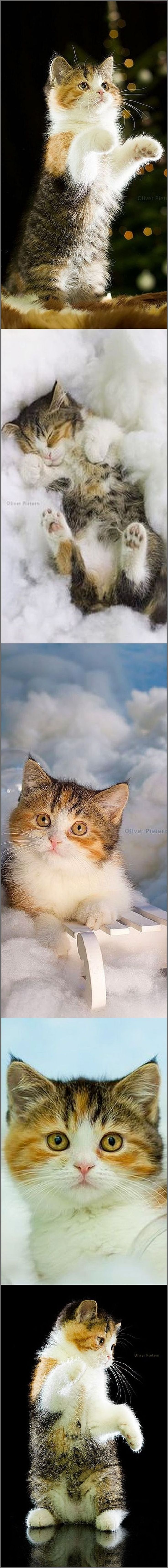 Chap - the fluffy photogenic kitty    #photos by hoschie ( Oliver Pietern ) on DeviantArt #cat cats animal pet kitten cute sweet beautiful nature http://snapmilfs.com/?id=amature_milf_casting
