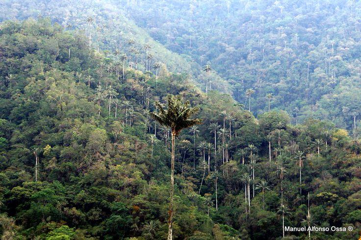 Palma de Cera del Quindío, Parque de los Nevados. Nuestro árbol, símbolo nacional.