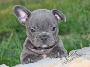 Blue French bulldog. One ear up already!