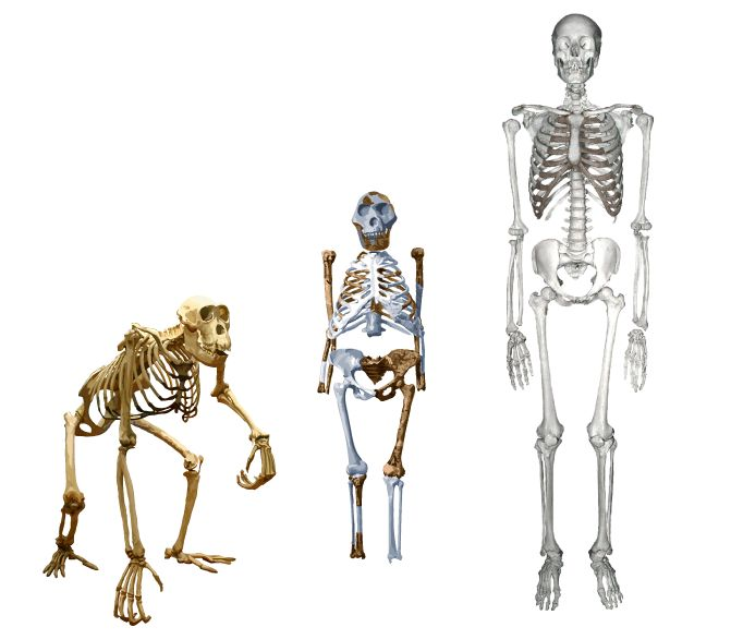 44 best images about lucy put evolution on display on pinterest, Skeleton