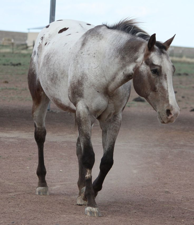 Surprise Foal Out Of Registered Appaloosa Mare By B W