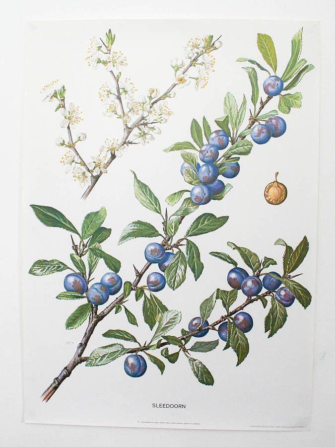 Vintage Botanical Print Blackthorn Sloe In 2019