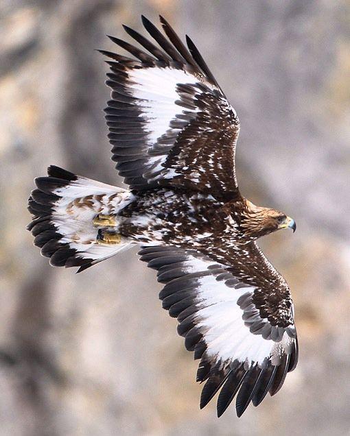 Aguila real                                                                                                                                                                                 Más