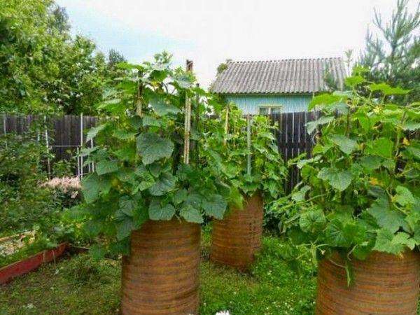 Как вырастить огурцы в бочке. Отличная идея для всех огородников! | Красивый Дом и Сад
