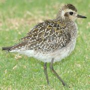 Pacific Golden-Plovers may cover 2,000 miles in a single nonstop flight from Alaska to the Pacific Islands, or they may stop along the way.  Pacific Golden-Plover habitat, behavior, diet, migration patterns, conservation status, and nesting.