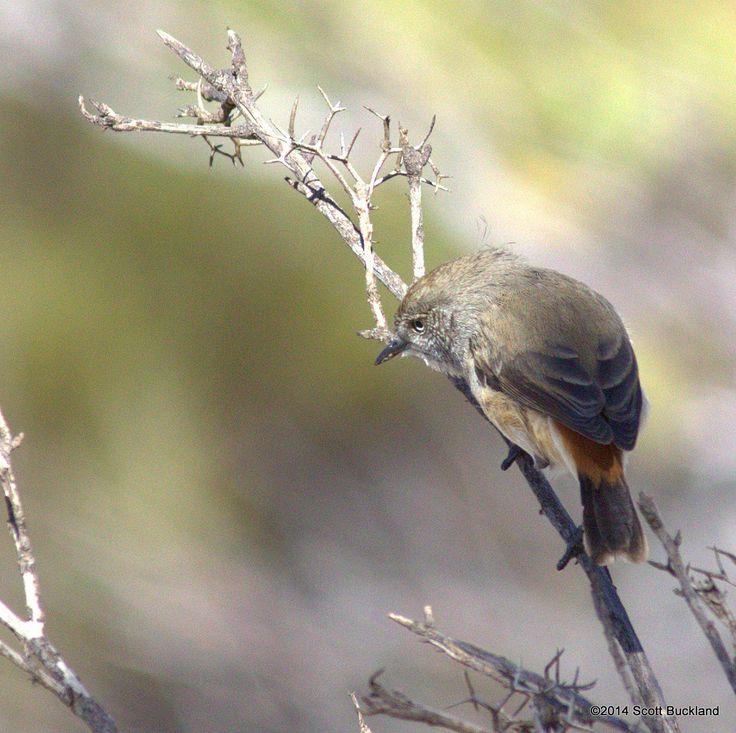 Chestnut-rumped Thornbill - South Bodallin, Western Australia - ©2014 Scott Buckland