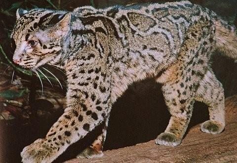 Marbled cat by Babette de Jonge, a wonderful photographer of wild cats!Big Cat, Wildcats, Wild Marbles, Wildmarbl Cat, Southeast Asia, Wild Cats, Marbles Cat, Domestic Cat, Animal Animal