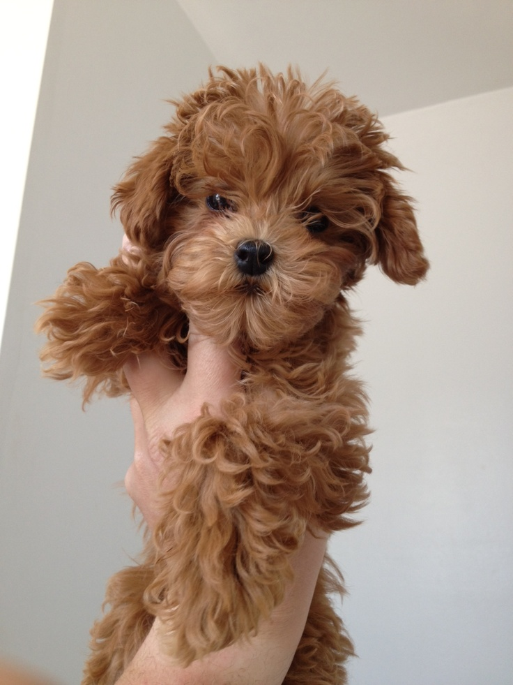 Best 25+ Tea cup poodle ideas on Pinterest | Micro poodle ...  Best 25+ Tea cu...
