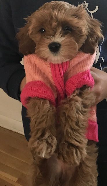 Cavapoo puppy for sale in COLORADO SPRINGS, CO. ADN65487