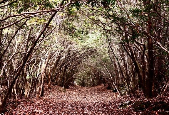Tunnel trail at Aokigahara Forest in Japan. .Located at the foot of Mt Fuji dozens of corpses of suicide victims have been found over the past 2 decades