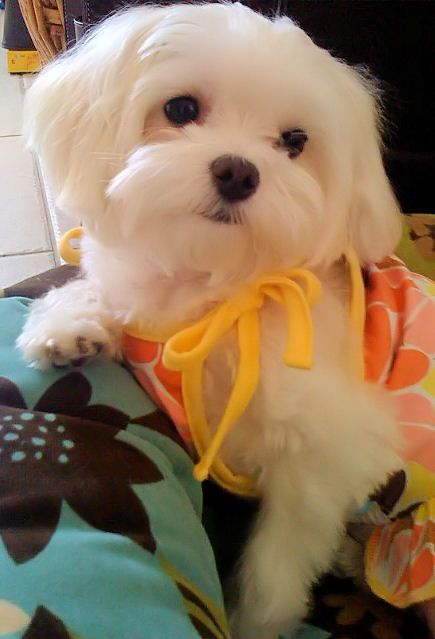 """Miss """"B"""" rockin' a sundress....*disclaimer This is probably the only time she has ever worn a dress. #maltese"""