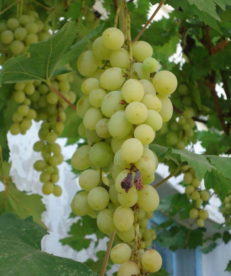 Белый #виноград