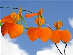Comparettia speciosa - Orange flowers!  Miniature plant with beautiful flowers